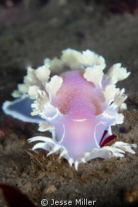 Diamondback Nudibranch by Jesse Miller